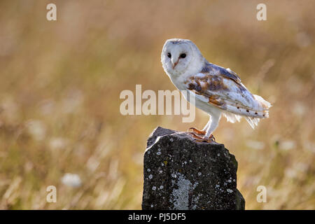Barn Owl on rock in flower meadow - Stock Photo