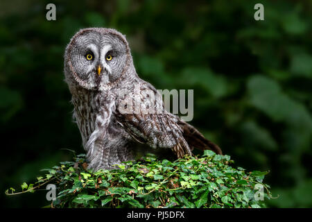 Portrait of a Great Grey Owl - Stock Photo