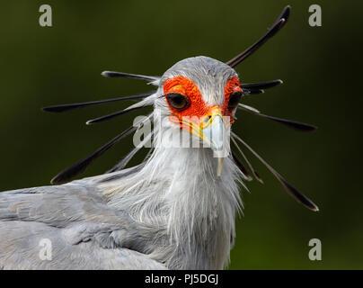 Portrait of a Secretary Bird - Stock Photo