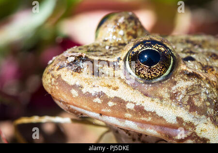 A Columbia spotted frog (Rana luteiventris) sits on the edge of a lake on a sunny day in Yellowstone National Park. - Stock Photo