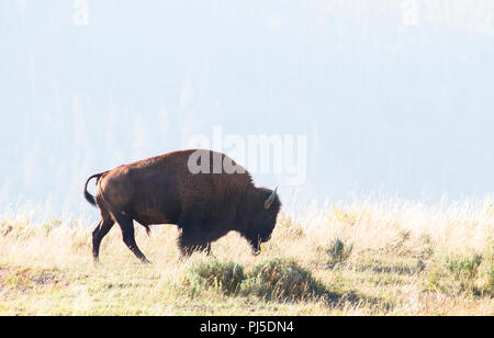 An American bison (Bison bison) walks through a grassy field on a sunny day in Yellowstone National Park, Wyoming. - Stock Photo