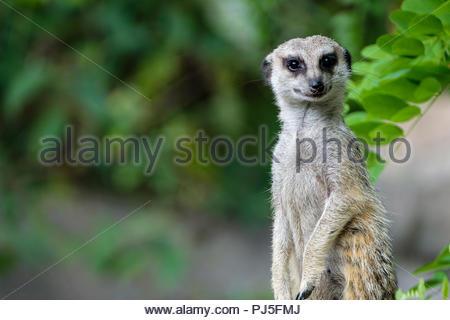 Portrait of a meerkat - Stock Photo