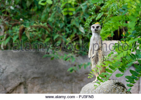 A meerkat on the lookout. - Stock Photo