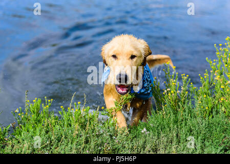 Laguna Niguel, CA. Golden retreiver puppy playing and swimming at Laguna Niguel Regional Park in Orange County, CA on Labor Day, September 3, 2018. Cr - Stock Photo