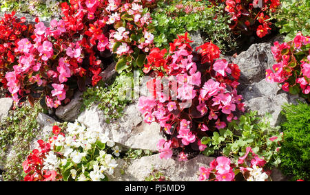 Beautiful sunlit Begonia, Begoniaceae, flowers growing out of an old stone wall. - Stock Photo