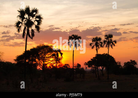 Sunset glow silhouettes fan palm trees during the dry season in Katavi National Park. - Stock Photo