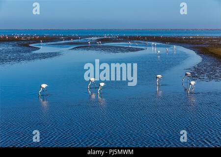 beautiful Rosy Flamingo colony in Walvis Bay reservation, Namibia, Africa safari wildlife - Stock Photo