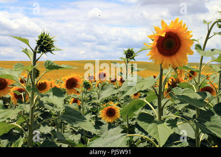 Millions of sunflowers growing in fields near the city of Cordoba, in Andalusia, Spain - Stock Photo