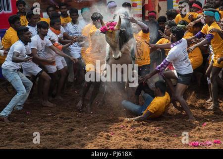 The image of Jallikattu (Bull Taming Festival) celebrated across Tamilnadu as part of the cultural celebration in Madurai, India - Stock Photo