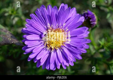 Michaelmas Daisy flower - Stock Photo