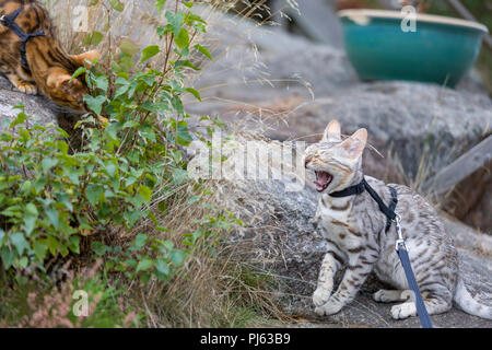 Adult Bengal cat introduction to younger Bengal cat kitten outdoors - Stock Photo
