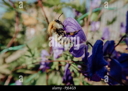 Bumblebee sitting on a violet flower macro photo - Stock Photo