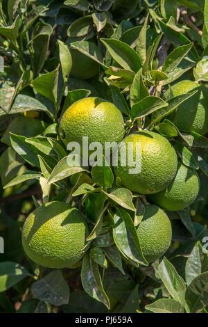 Unripe organic oranges growing on a tree, Valencian Community, Spain - Stock Photo