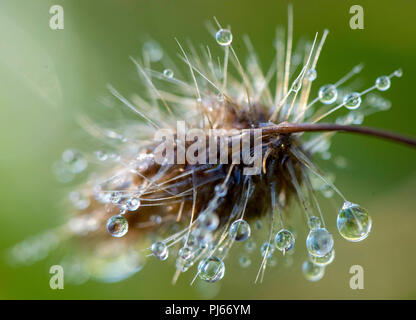 Elkton, OREGON, USA. 4th Sep, 2018. Drops of morning dew dapple a mature grass top in a pasture on a farm near Elkton. Credit: Robin Loznak/ZUMA Wire/Alamy Live News - Stock Photo