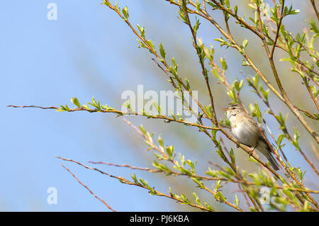 Willow Warbler (Phylloscopus trochilus) Pouillot fitis - Stock Photo