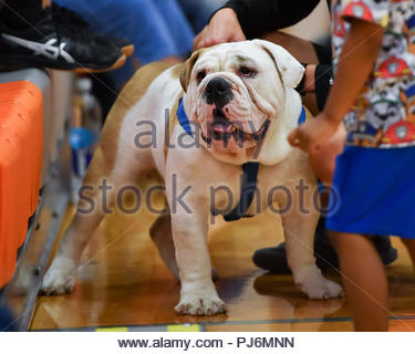 Fat faced English Bulldog serving as a High School Mascot during an athletic competition - Stock Photo
