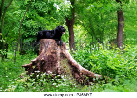 A black Labrador Retriever dog is lying down on a big tree stump in a forest. He looks in the right direction. The tree stump has a huge size - Stock Photo