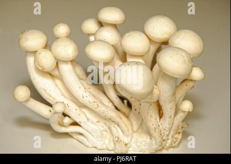 Weißer Buchenpilz, Buna-Shimeji, Shimeji, Buchenrasling (Hypsizygus tessulatus) - Stock Photo