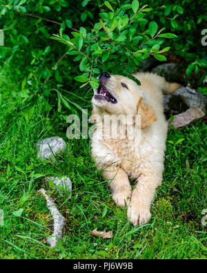 Falmouth, Maine. Eight week old golden retriever puppies at PoeticGold Farm in Falmouth, Maine on June 7, 2018. Credit: Benjamin Ginsberg - Stock Photo