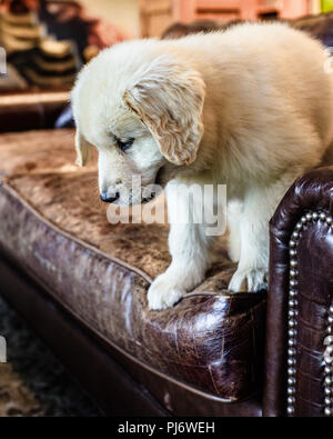 Manchester, VT. Eight week old golden retriever puppy playing on brown leather couch on June 8, 2018. Credit: Benjamin Ginsberg - Stock Photo
