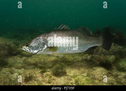 Barramundi or Asian sea bass, Lates calcarifer, sea form, swimming.  It's an icon of Western Australia's Kimberley region, prized by recreational - Stock Photo