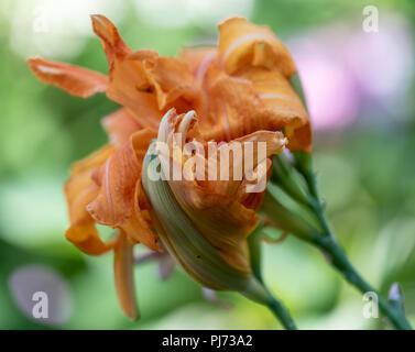 Color outdoor close up macro image of isolated orange daylily blossoms on natural blurred background taken on a sunny summer day - Stock Photo
