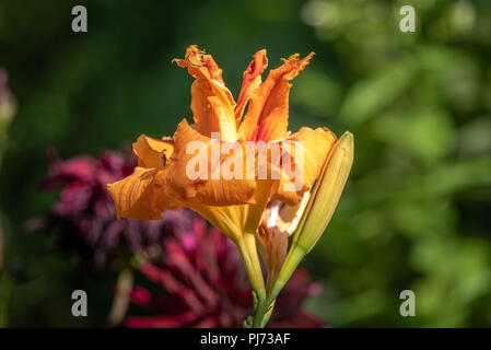 Color outdoor close up macro image of isolated orange daylily blossoms on natural blurred colorful background taken on a sunny summer day - Stock Photo
