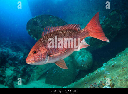 Northern red snapper, Lutjanus campechanus. Adult, old animal, on ship wreck. It's a prized food fish, caught commercially, as well as recreationally. - Stock Photo