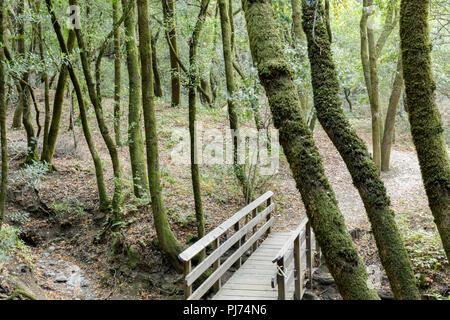 Footbridge in California Bay Laurel Forest.