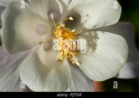 Close up of creamy white flower blossom, with yellow stamen in soft focus. - Stock Photo