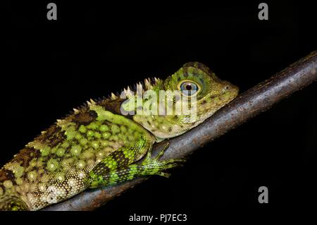 A Blue-eyed Angle-headed Lizard (Gonocephalus liogaster) resting at night in Gunung Gading National Park, Sarawak, East Malaysia, Borneo - Stock Photo