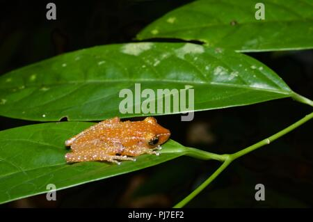 A Cinnamon Frog (Nyctixalus pictus) hunkered down on a leaf in the rainforest at Gunung Gading National Park, Sarawak, East Malaysia, Borneo - Stock Photo