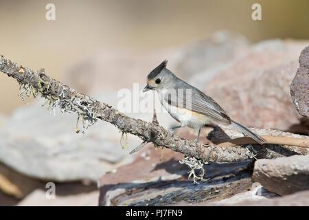 Black-crested Titmouse, Baeolophus atricristatus - Stock Photo