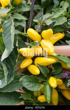 Capsicum annuum. Pepper 'Sweet Lemon Dream' fruit. - Stock Photo