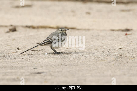 A beautiful juvenile Pied wagtail (Motacilla alba) perching on the ground hunting for insects to eat. - Stock Photo