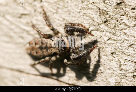 A cute Fence-Post Jumping Spider (Marpissa muscosa) hunting on a wooden fence in the UK. - Stock Photo