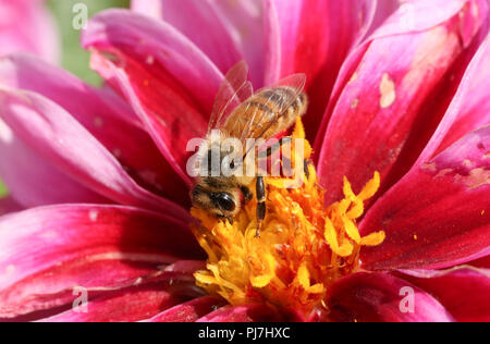 A pretty Honey Bee (Apis mellifera) nectaring on a Dahlia flower. - Stock Photo