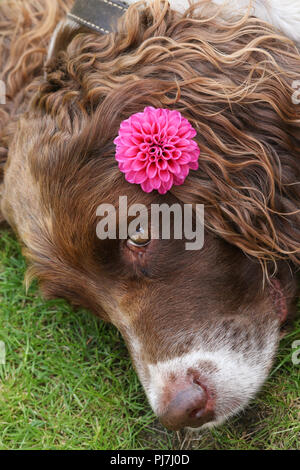 A head shot of a cute English Springer Spaniel Dog (Canis lupus familiaris) resting on the grass with a Dahlia flower on its ear. - Stock Photo