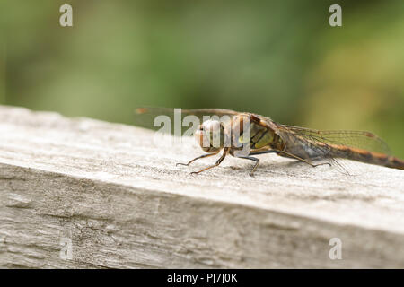A hunting female Common Darter Dragonfly (Sympetrum striolatum) perched on a wooden fence. - Stock Photo