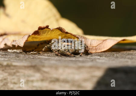 A cute hunting Fence-Post Jumping Spider (Marpissa muscosa) hiding under a leaf on a wooden fence. - Stock Photo