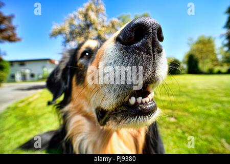 Dog nose of an American-Collie-Retriever-Mischlings, Hundenase eines American-Collie-Retriever-Mischlings - Stock Photo
