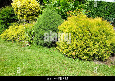small conifers in a mature garden - Stock Photo