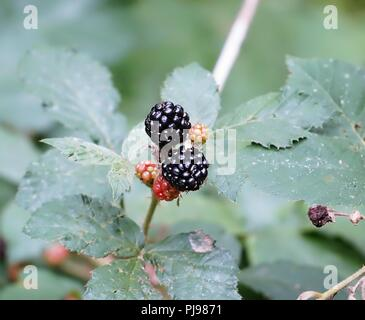 Wild Blackberries on a Blackberry Bush - Stock Photo