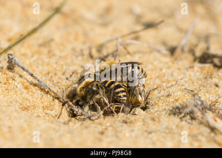 Ivy bees (Colletes hederae), a solitary species of plasterer bee first seen in the British Isles in 2001, in a mating ball on sand in Hampshire, UK - Stock Photo