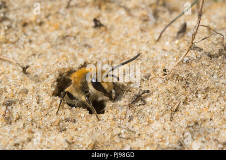 Ivy bee (Colletes hederae), a solitary species of bee first seen in the British Isles in 2001, emerging from a burrow in the sand in Hampshire, UK - Stock Photo
