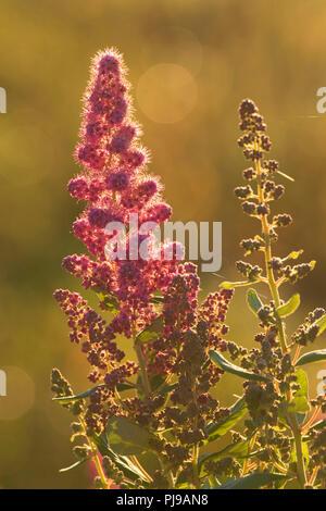 Spirea, Ankeny National Wildlife Refuge, Oregon - Stock Photo