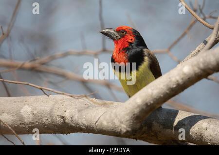 Black-collared Barbet - Stock Photo