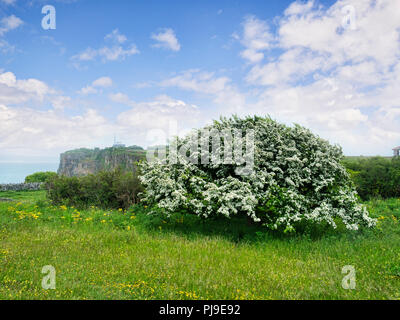 Hawthorn in full bloom on Berry Head, Devon, UK. Crataegus monogyna. Sometimes called May blossom, because it usually flowers in May. - Stock Photo