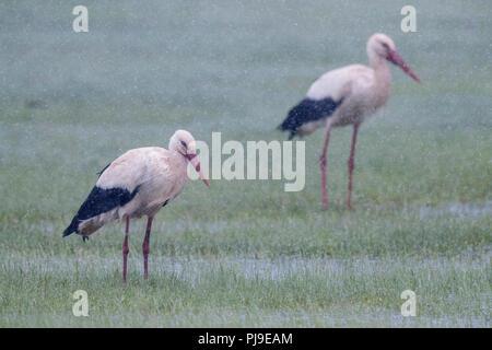 White Stork (Ciconia ciconia), couple under a heavy sleet - Stock Photo