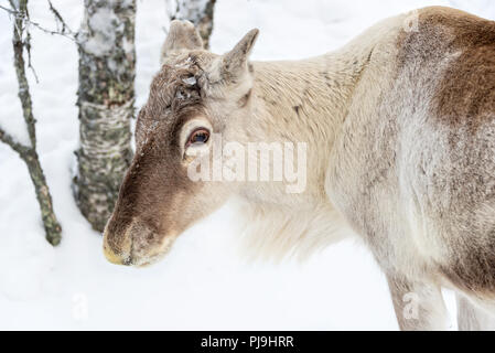 Young reindeer in the forest in winter, Lapland, Finland - Stock Photo